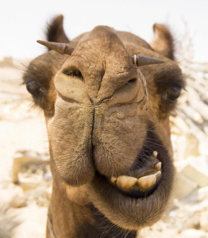 Tete de chameau 16722697